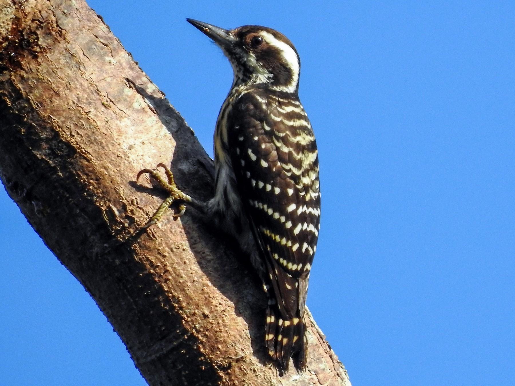 Philippine Pygmy Woodpecker - Ronet  Santos