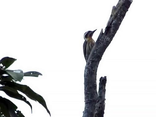 Sulu Pygmy Woodpecker - Desmond Allen