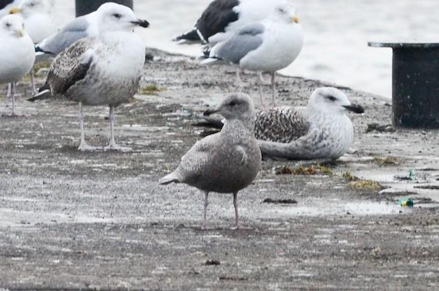 Iceland Gull (glaucoides)