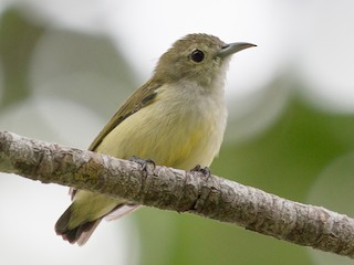- Andaman Flowerpecker