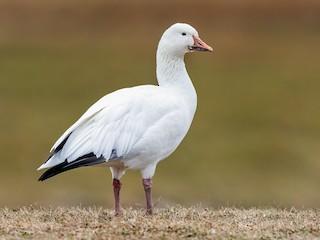 - Snow Goose