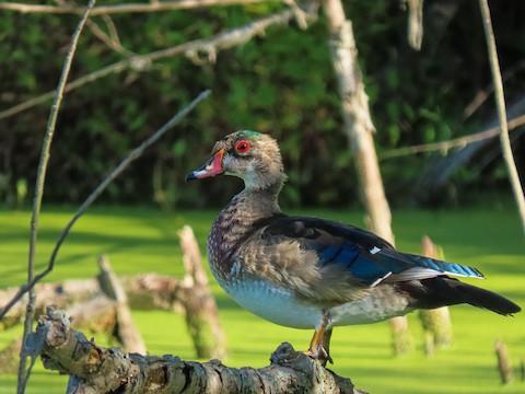 Wood Duck - Trevor Leitz