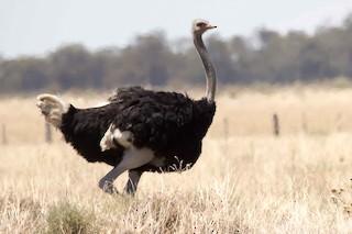 Common Ostrich, ML37228881