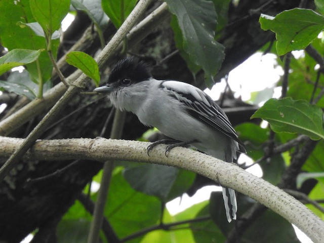Gray-collared Becard