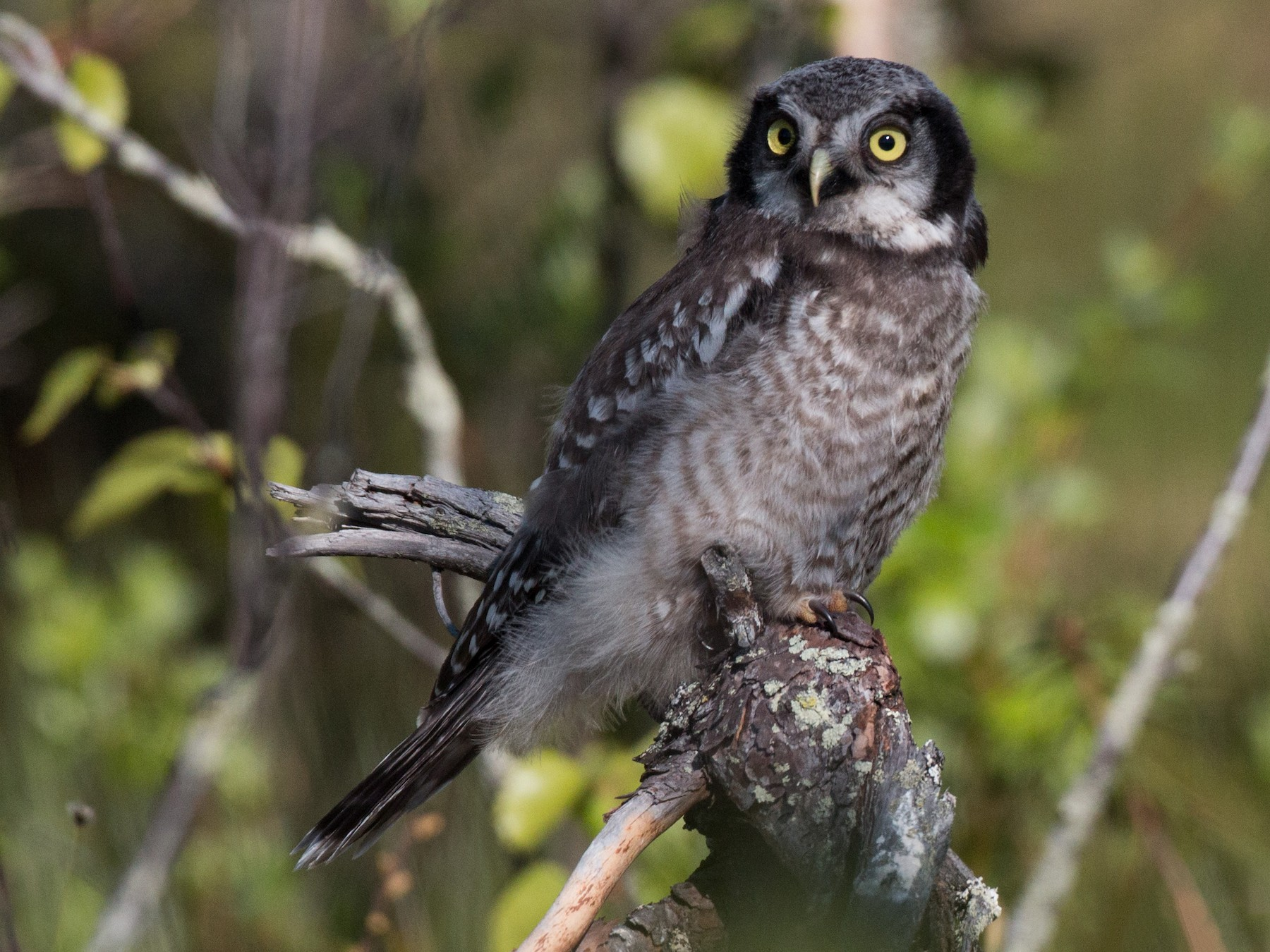 Northern Hawk Owl - Ian Davies