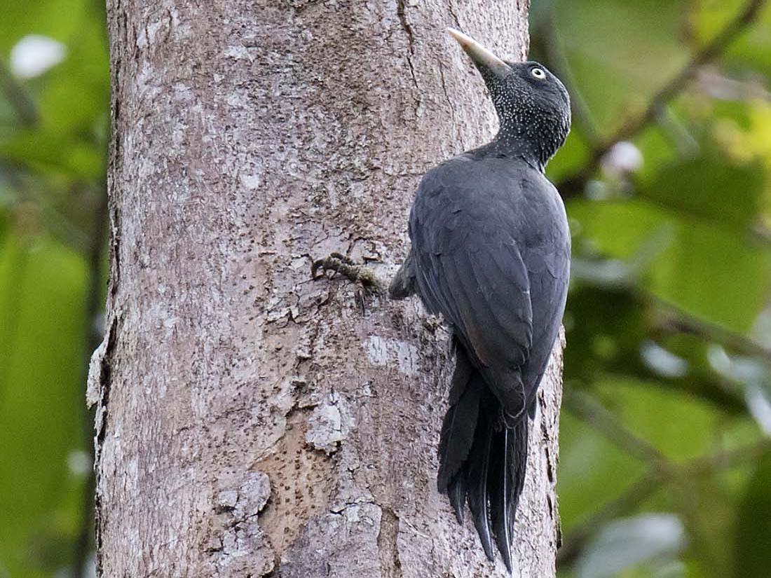Southern Sooty-Woodpecker - daniel lopez velasco