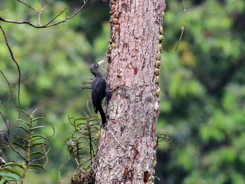 Southern Sooty-Woodpecker - Paul Bourdin