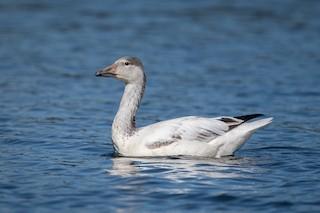 Snow Goose, ML372450981