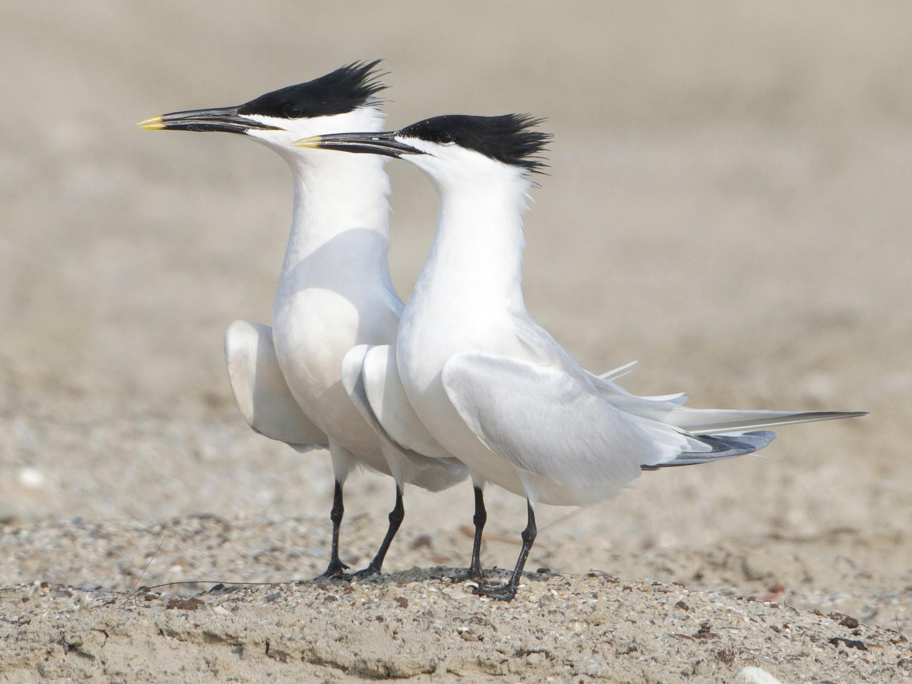 Sandwich Tern - Brian Sullivan