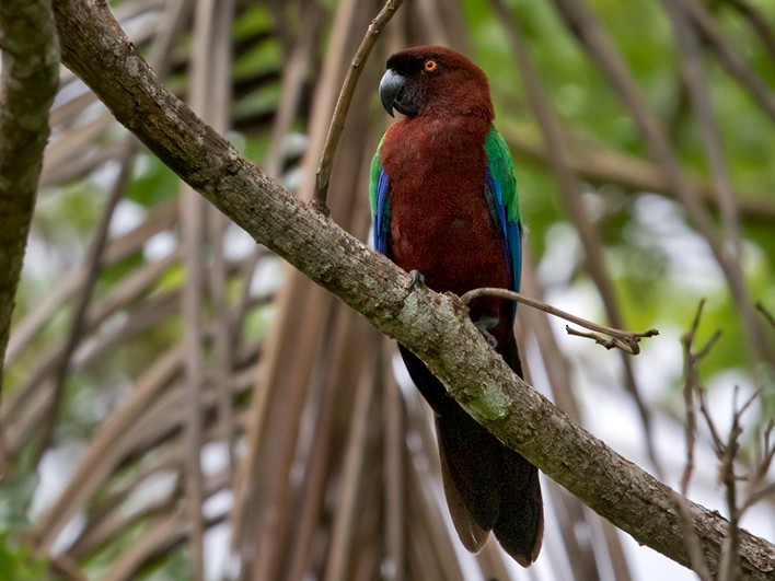 Red Shining-Parrot - Lars Petersson