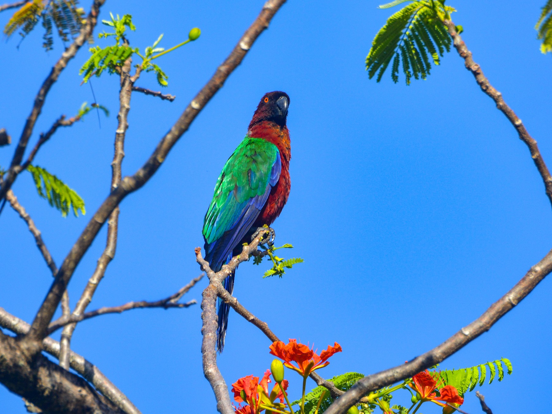 Red Shining-Parrot - Mary McGreal