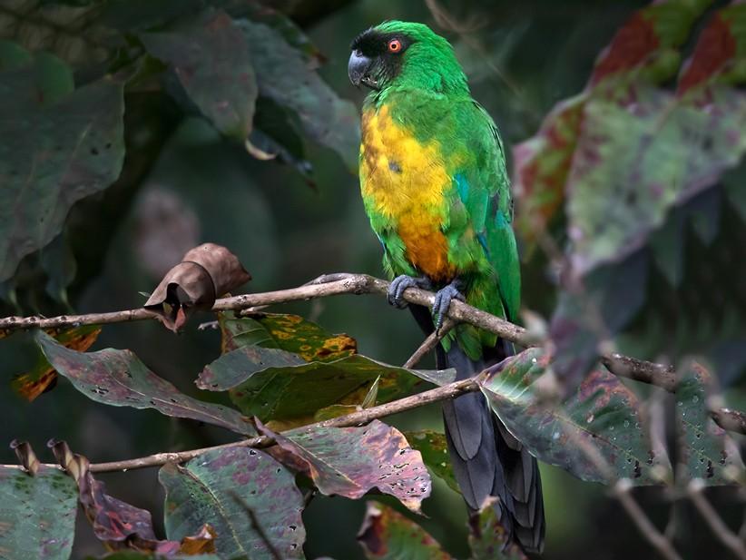 Masked Shining-Parrot - Lars Petersson