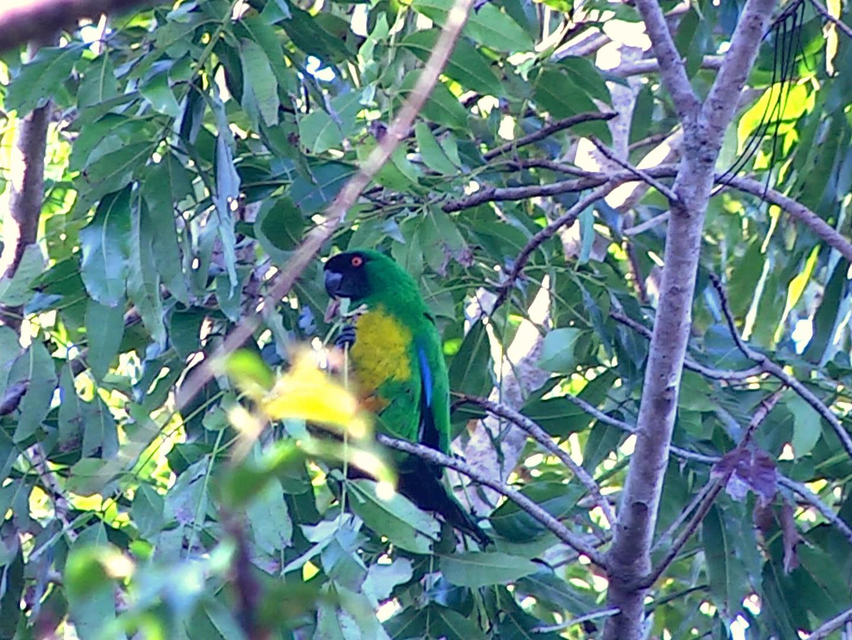 Masked Shining-Parrot - Josep del Hoyo