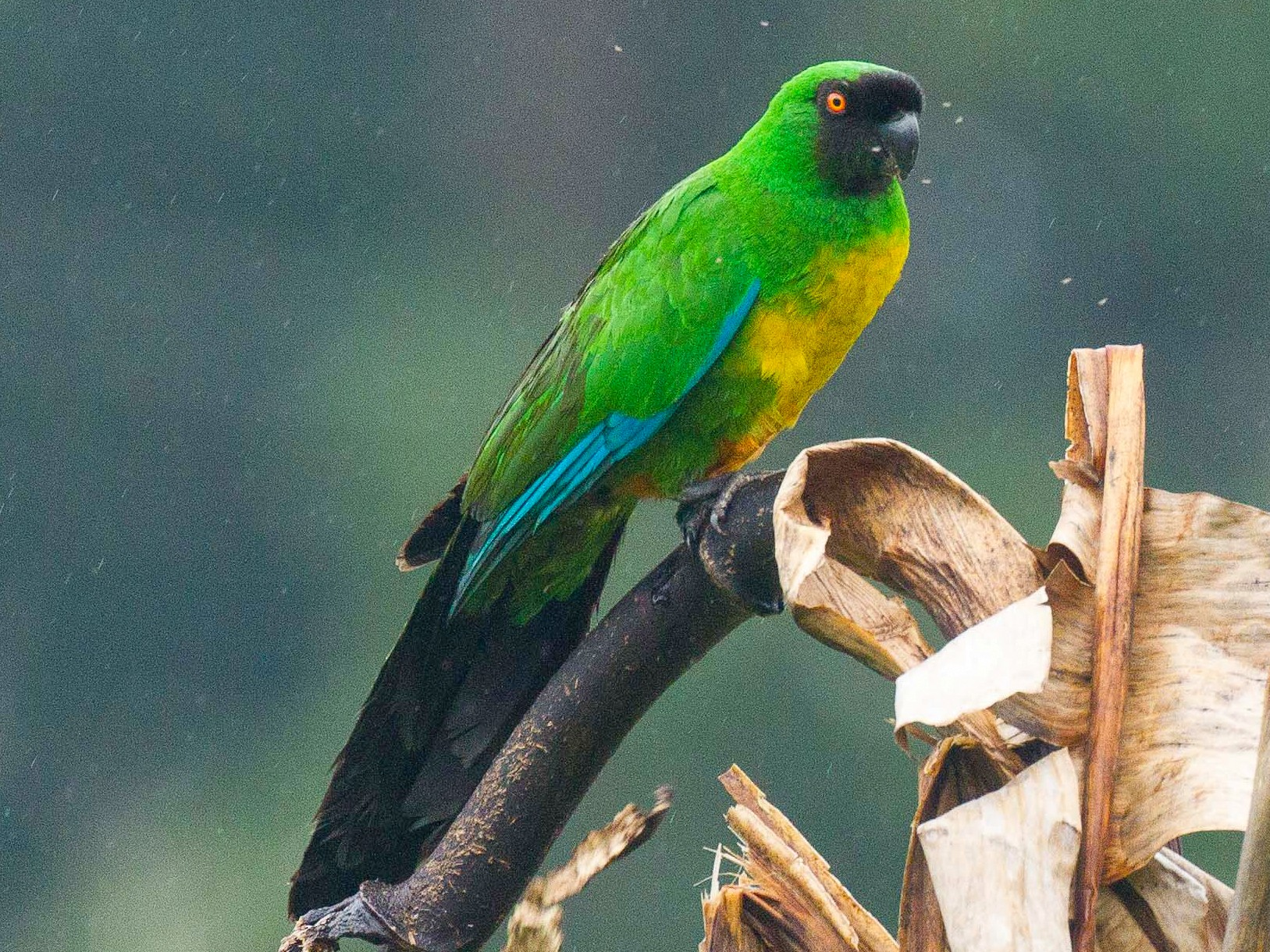 Masked Shining-Parrot - Eric VanderWerf