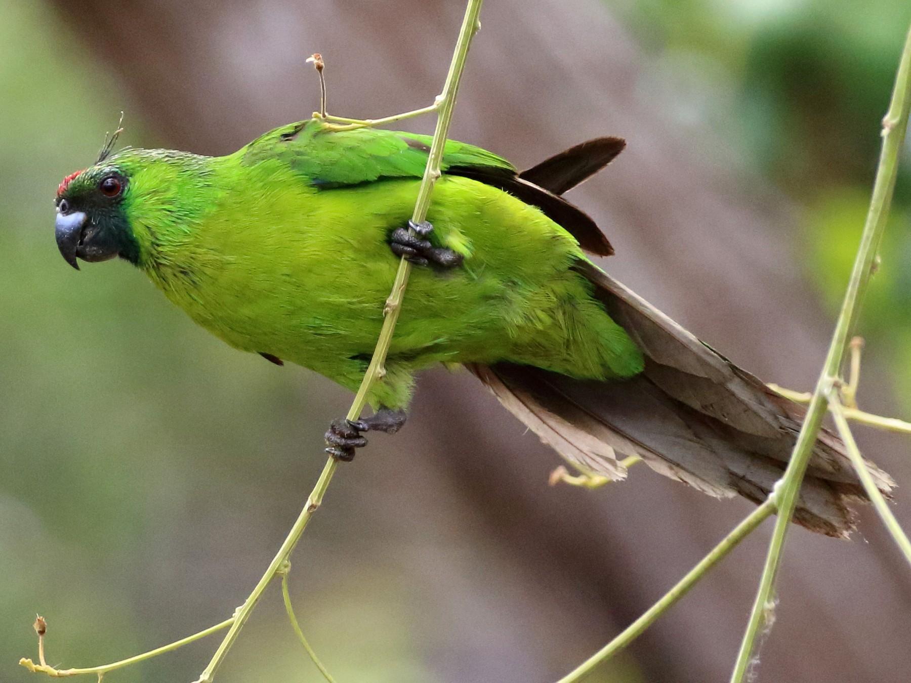 Ouvea Parakeet - Richard Fuller