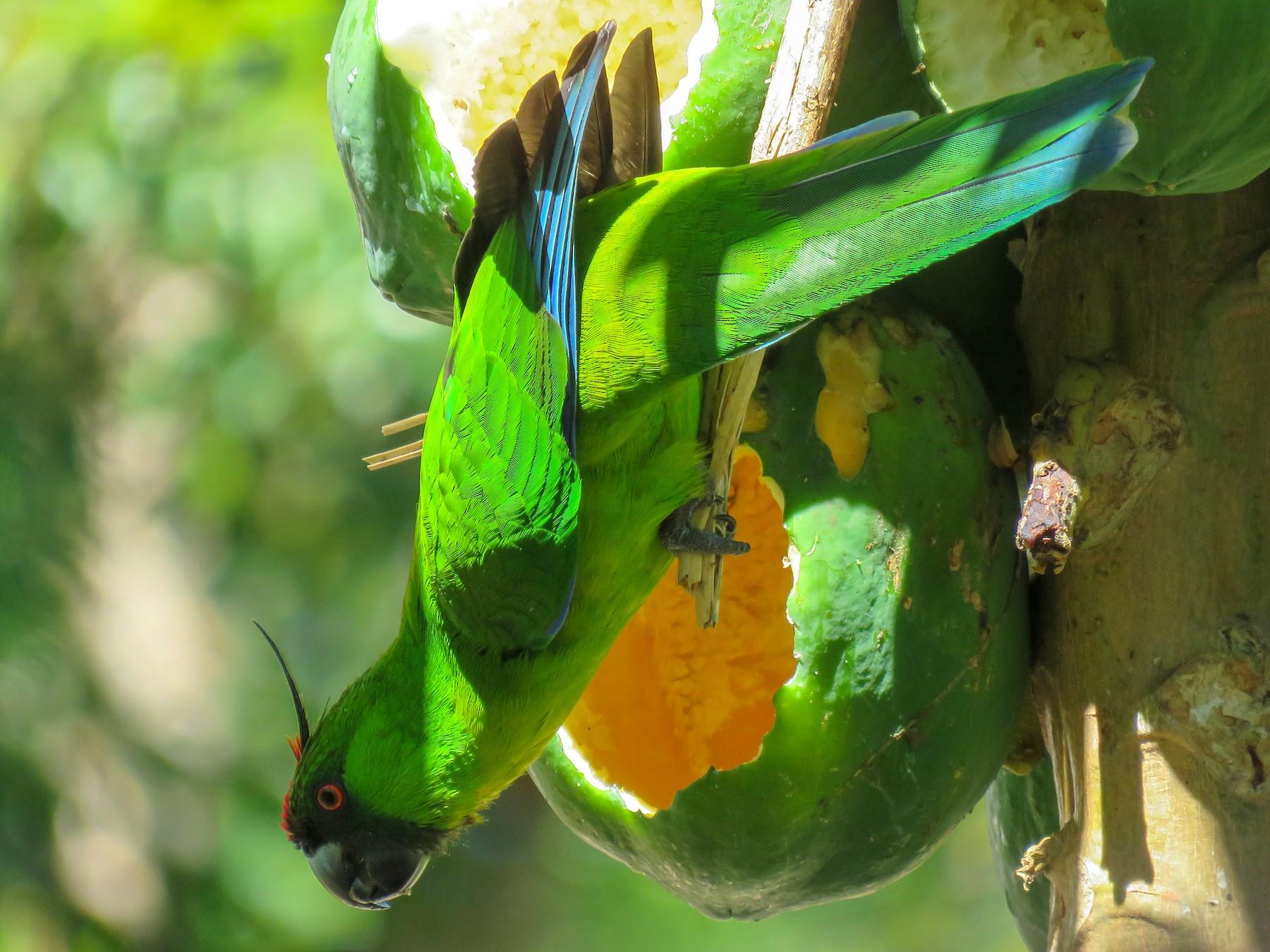 Ouvea Parakeet - Sue Beatty
