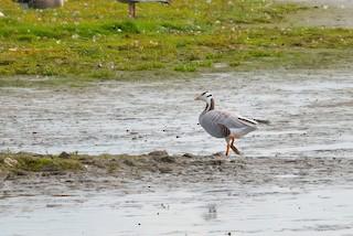 Bar-headed Goose, ML372641101
