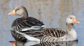 Graylag Goose (European), ML37294341