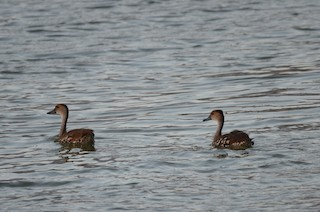 West Indian Whistling-Duck, ML37309411