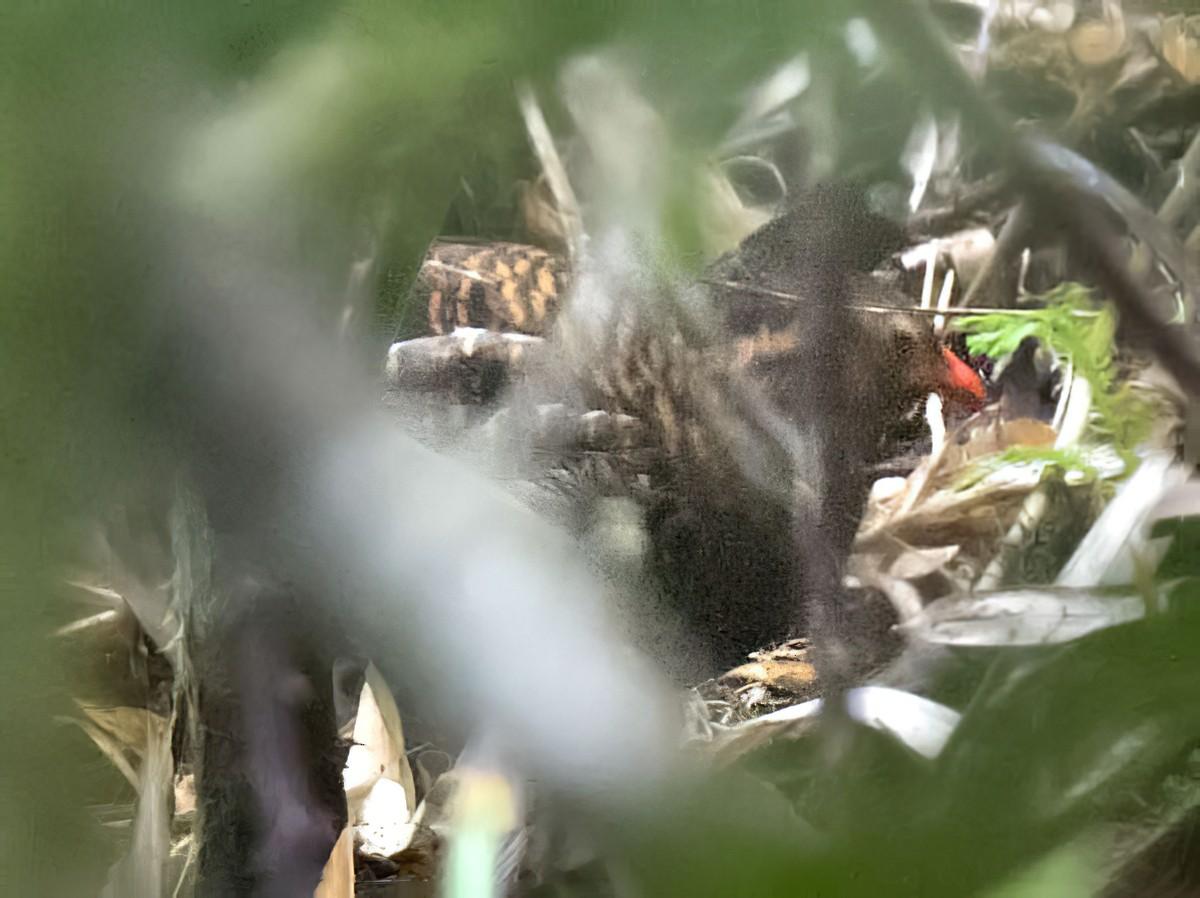 Udzungwa Partridge - daniel lopez velasco