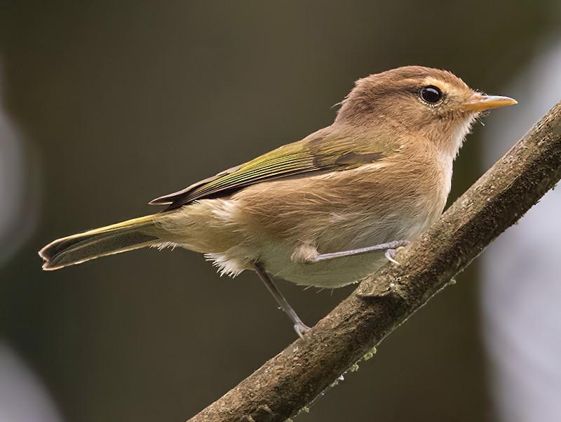 Brown Woodland-Warbler - Lars Petersson