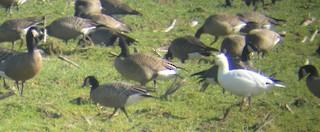 Ross's Goose, ML37361781