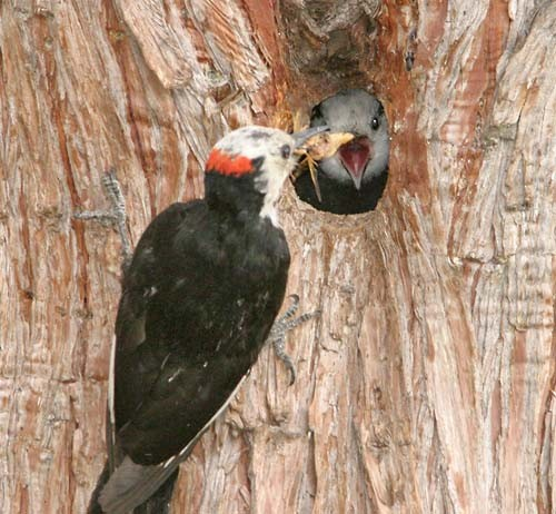 Adult White-headed Woodpecker feeding young at nest cavity.