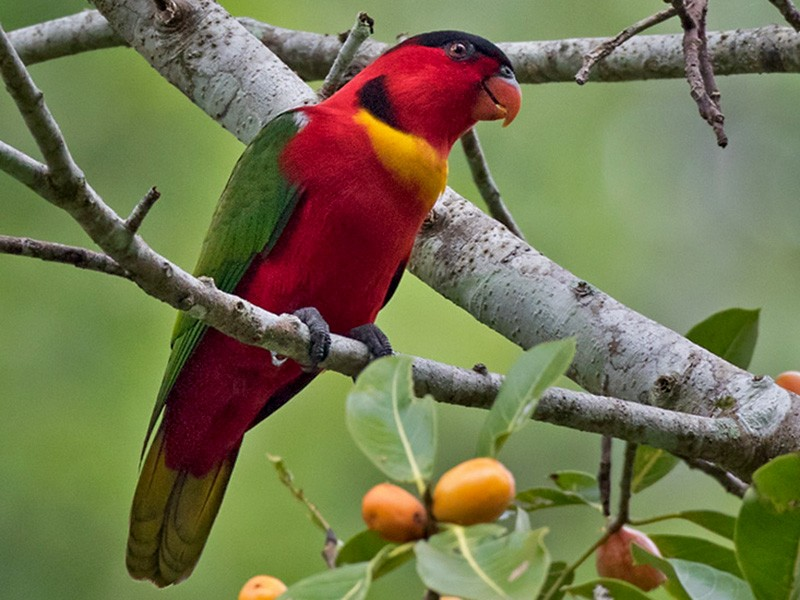 Yellow-bibbed Lory - Lars Petersson