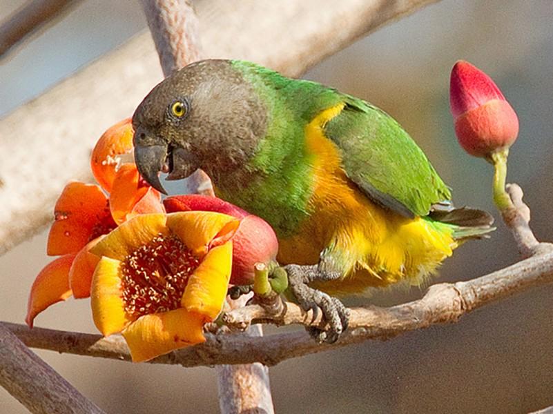 Senegal Parrot - Paul Cools