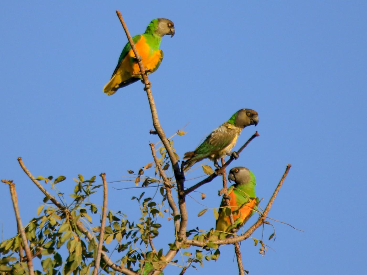Senegal Parrot - Fabio Olmos
