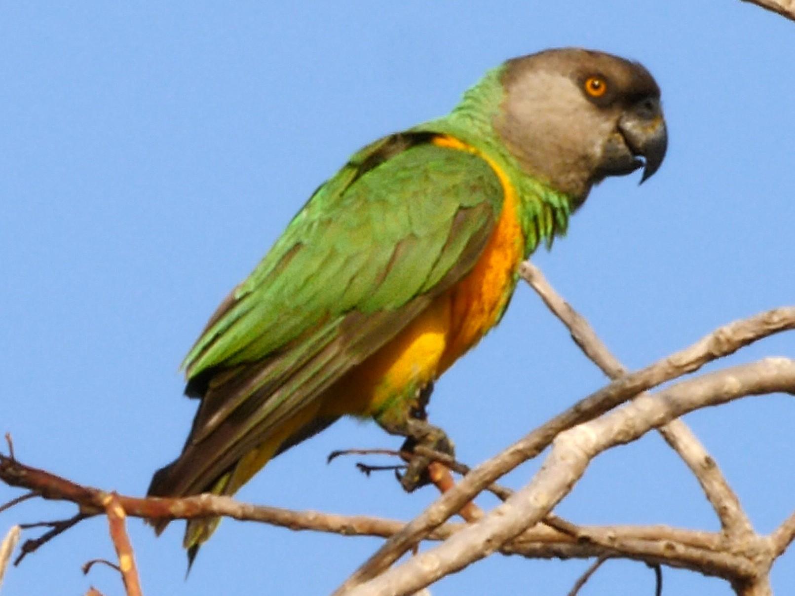 Senegal Parrot - Josep del Hoyo