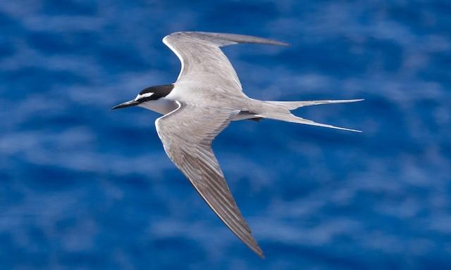 Gray-backed Tern