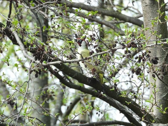 ©Владимир Соколов - Eurasian Green Woodpecker