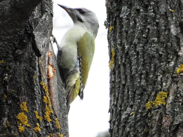 ©Владимир Соколов - Gray-headed Woodpecker