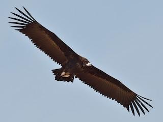 - Cinereous Vulture