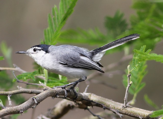 Tropical Gnatcatcher (Marañon)