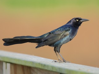 - Great-tailed Grackle