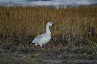 Snow Goose, ML375081731