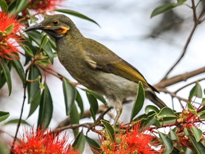 Northern Wattled-Honeyeater - Phil Gregory   Sicklebill Safaris   www.birder.travel