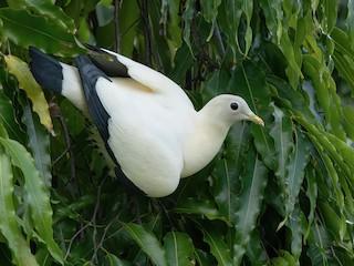 - Torresian Imperial-Pigeon