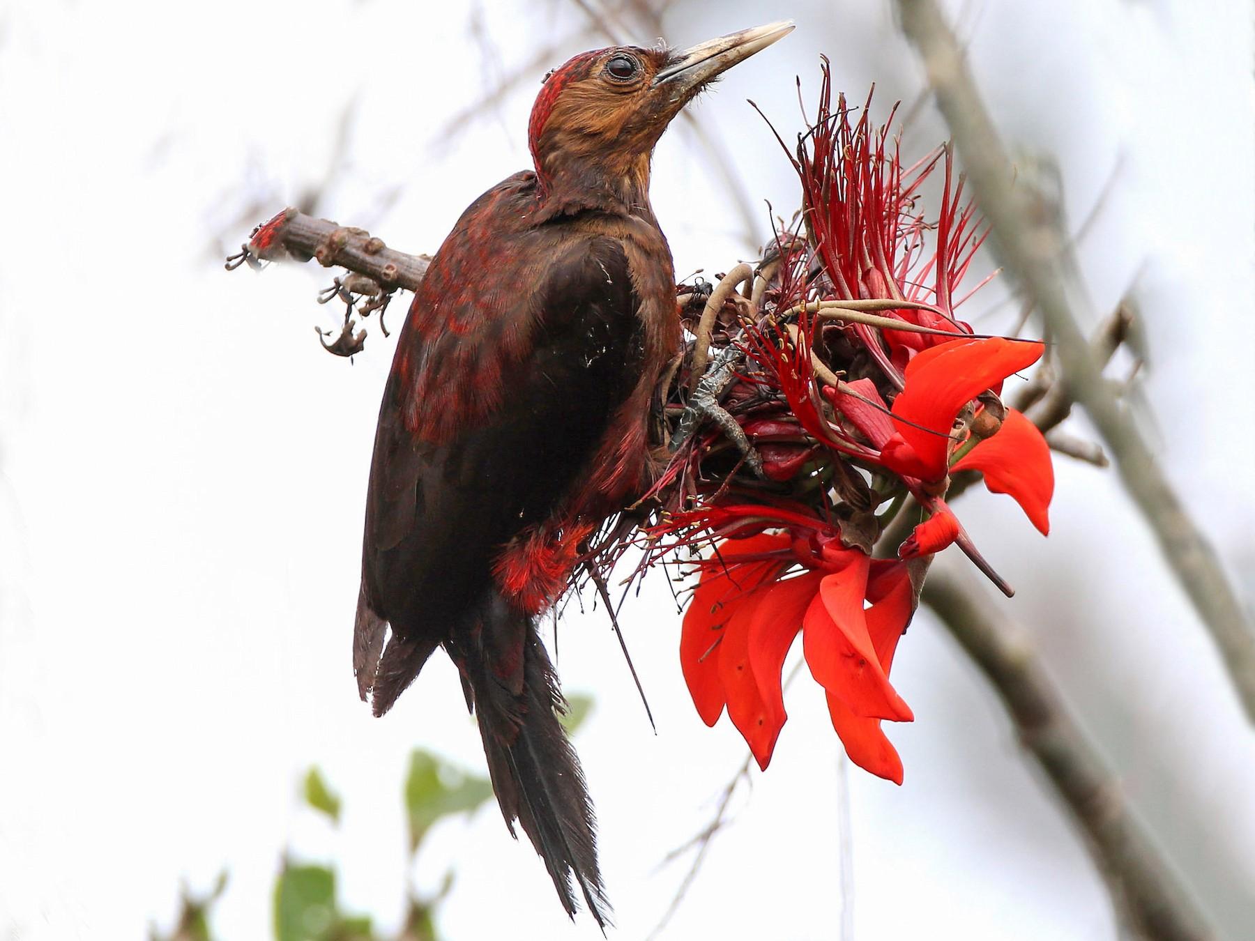 Okinawa Woodpecker - Hal and Kirsten Snyder