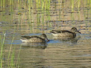 Blue-winged Teal, ML37574441