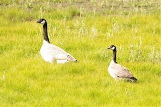 Cackling Goose, ML376065901