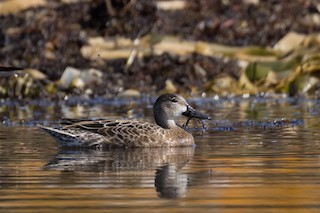 Blue-winged Teal, ML376118041