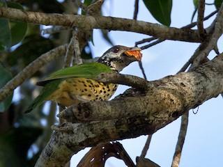- Tan-capped Catbird