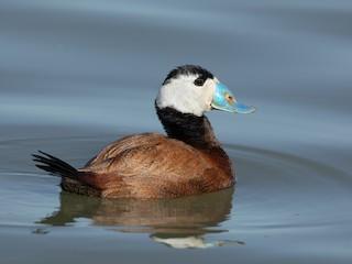 - White-headed Duck