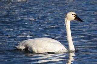 Tundra Swan, ML376324491