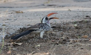 - Western Red-billed Hornbill