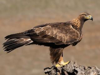 - Golden Eagle