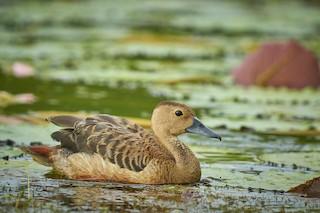 Lesser Whistling-Duck, ML376979581